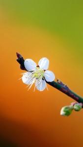 Обои для iPhone: Весна, все цветет