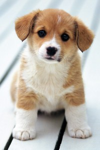 Cute-Puppy-iphone-4s-wallpaper-ilikewallpaper_com