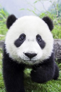 Panda-Bear-Closeup-iphone-4s-wallpaper-ilikewallpaper_com