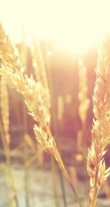 Nature-Wheat-Rice-Sunlight-Plant-iphone-5s-parallax-wallpaper-ilikewallpaper_com