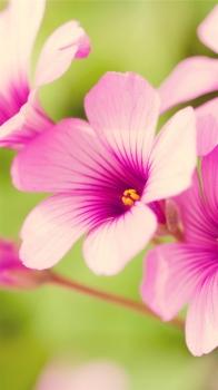 Обои для iPhone 6, цветок.