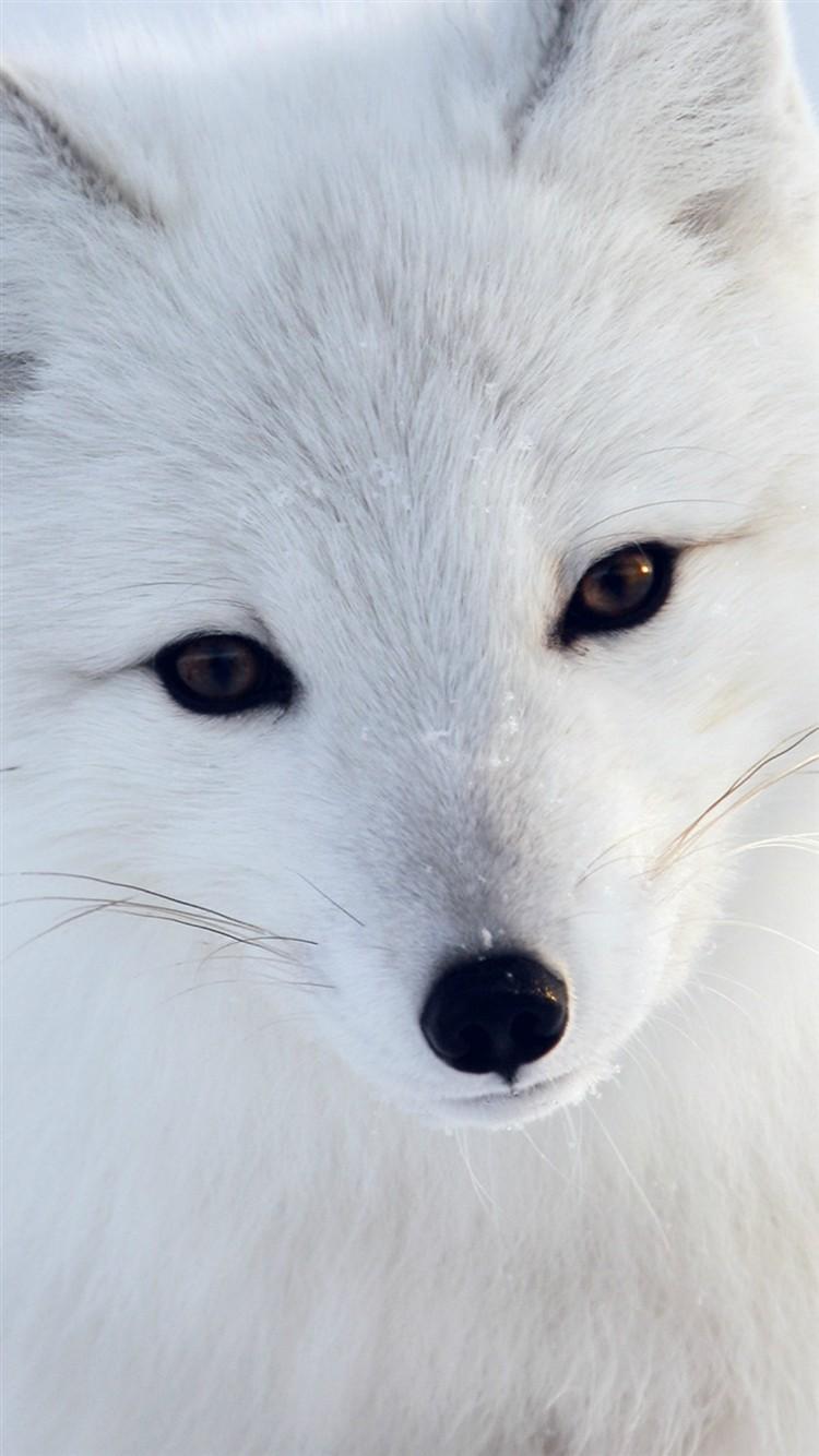 Artic-Fox-White-Animal-Cute-iPhone-6-wallpaper-ilikewallpaper_com_750