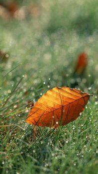 Brown-Fall-Leaf-On-Dew-Grassland-iPhone-6-plus-wallpaper-ilikewallpaper_com