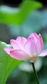 Fresh-Lotus-Bokeh-Macro-iPhone-6-plus-wallpaper-ilikewallpaper_com