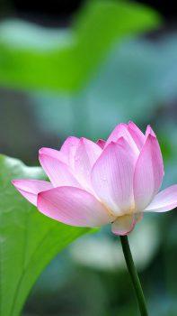 Fresh-Lotus-Bokeh-Macro-iPhone-6-plus-wallpaper-ilikewallpaper_com