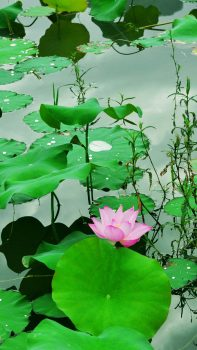 Fresh-Lotus-Pond-iPhone-6-plus-wallpaper-ilikewallpaper_com