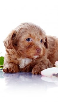 Puppy-Dog-Crawling-On-Ground-iPhone-6-plus-wallpaper-ilikewallpaper_com