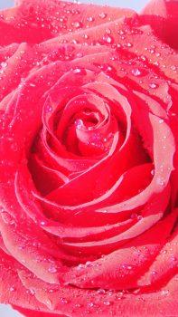 Rose-Macro-Drops-Dew-Flower-iPhone-6-plus-wallpaper-ilikewallpaper_com