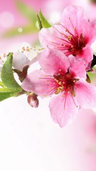 Spring-Plum-Blossom-Branch-Macro-iPhone-6-plus-wallpaper-ilikewallpaper_com